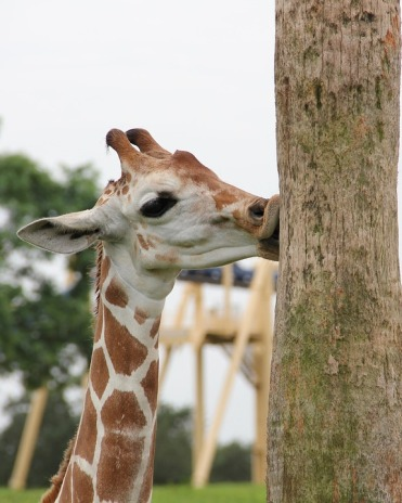 giraffe kissing pole